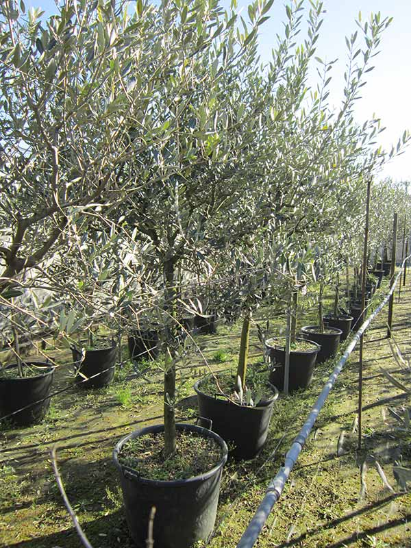 immagini vivai biondi gino di biondi marta olivi e
